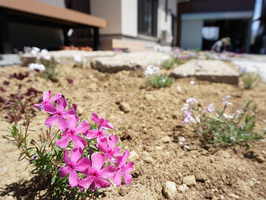 Shiawaseya-植栽の植え付け ~芝桜~