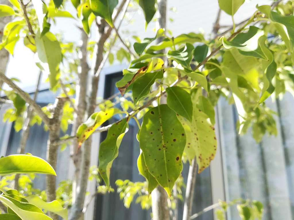 Shiawaseya-葉っぱの黒い点々(植物の病気)